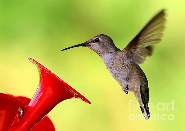 Carol Groenen - High Flying Hummingbird