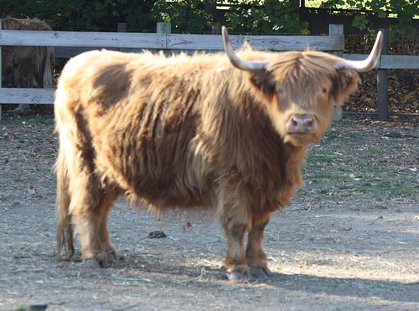 John Telfer - Highland Cattle