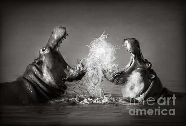 Johan Swanepoel - Hippo