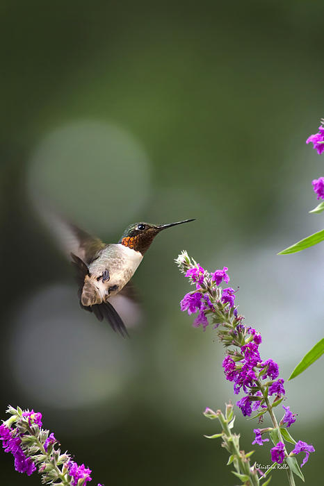 Christina Rollo - Hummingbird Somersault