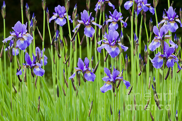 Alan L Graham - Iris Garden