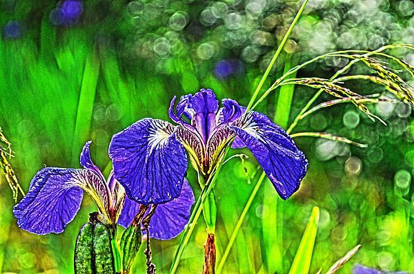 Cathy Mahnke - Irises