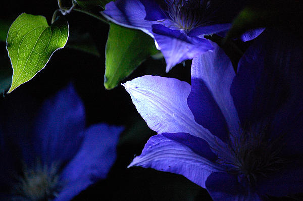 First Star Art  - Jammer Clematis At Night 002