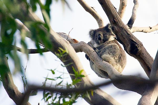 Stuart Litoff - Koala in the Wild