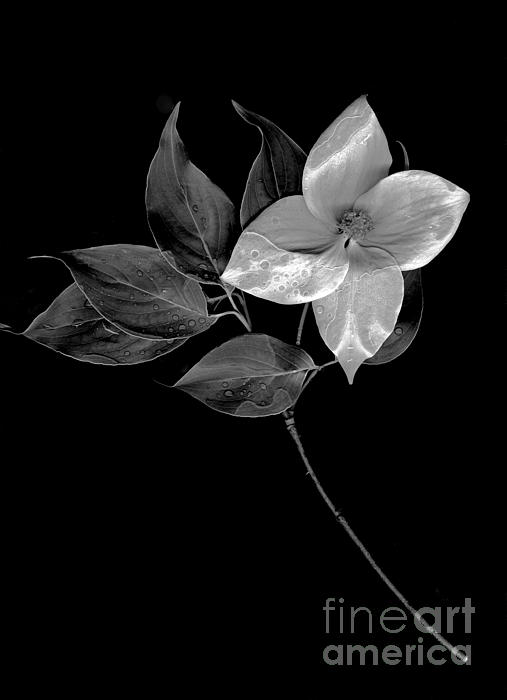 Sharon Talson - Kousa Dogwood in Black and White