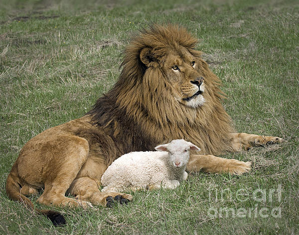 Wildlife Fine Art - Lion and Lamb