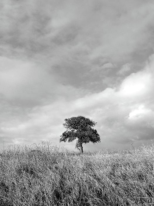 Pamela Patch - Little Lone Oak Tree