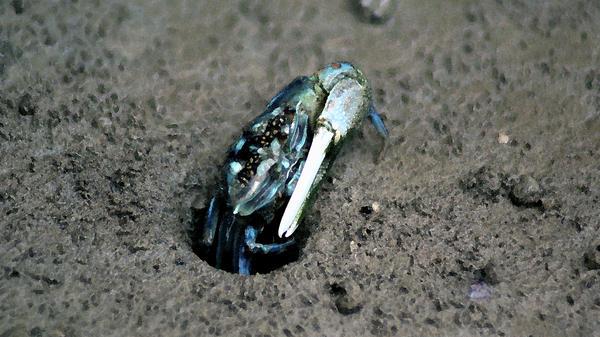 Ali Mohamad - Mangrove Land Crab