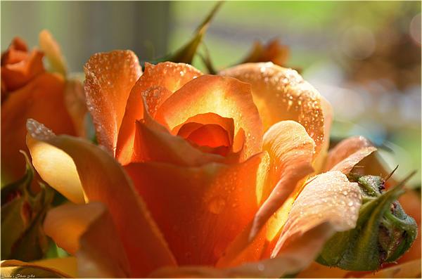 Debbie Portwood - Misty Yellow rose II