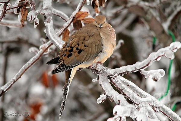 J McCombie - Mourning Dove in the Ice Storm