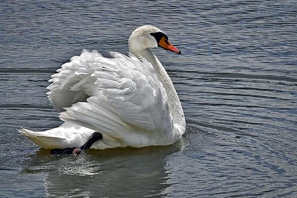 Marcia Colelli - Mute Swan