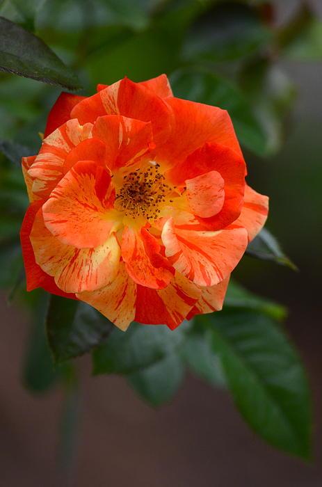 Kathy Gibbons - Orange and Lemons