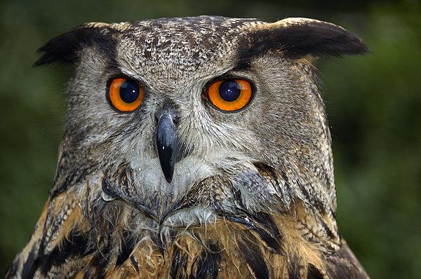Matthias Hauser - Owl Bubo bubo portrait