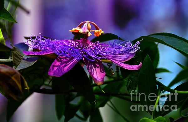 Elaine Manley - Passion Flower