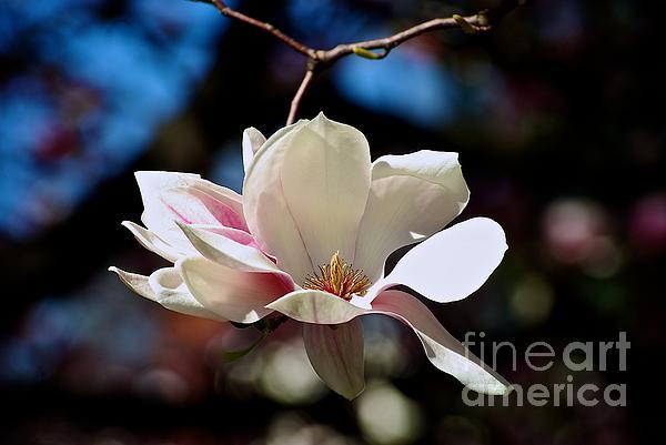 Frank J Casella - Perfect Bloom Magnolia