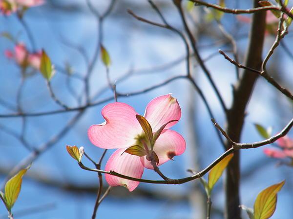 Cheryl Hardt Art - Pink Dogwood