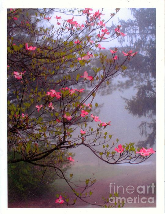 CR Bilardi - Pink Dogwood on a Foggy Morn