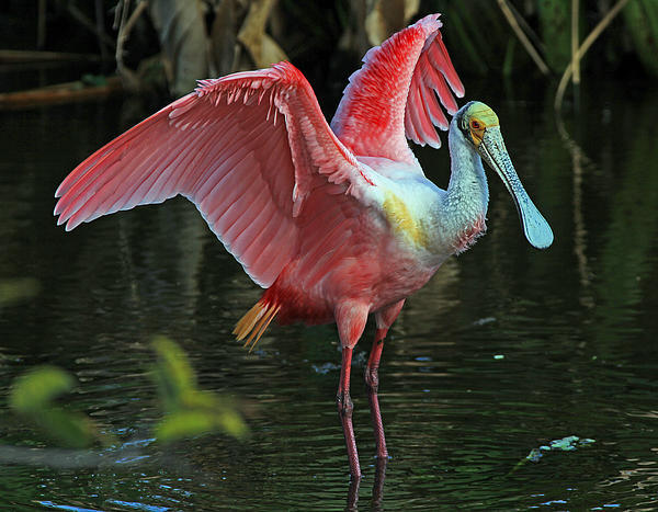 Larry Nieland - Roseate Spoonbill - showstopper
