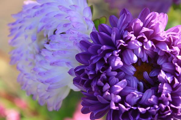 Dora Sofia Caputo Photographic Art and Design - Pretty in Purple