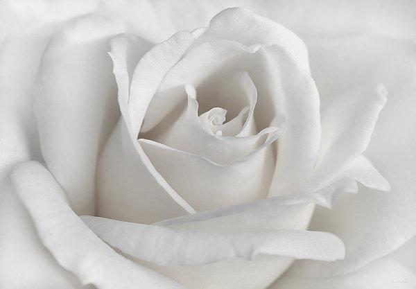 Jennie Marie Schell - Purity of a White Rose Flower