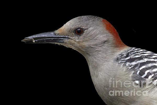 Meg Rousher - Red-bellied Woodpecker