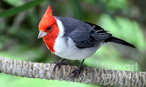 Elizabeth Winter - Red Crested Cardinal