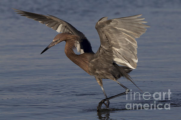 Meg Rousher - Reddish Egret Fishing