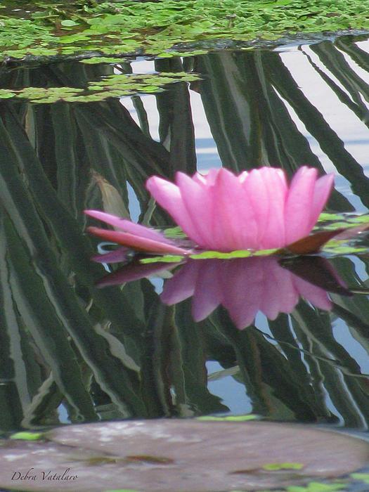 Debra     Vatalaro - Reflection Lily
