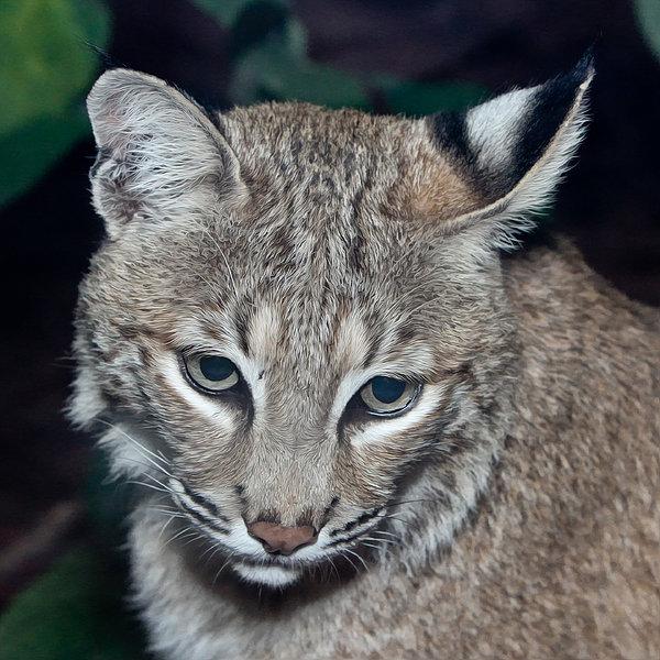 John Haldane - Reflective Bobcat