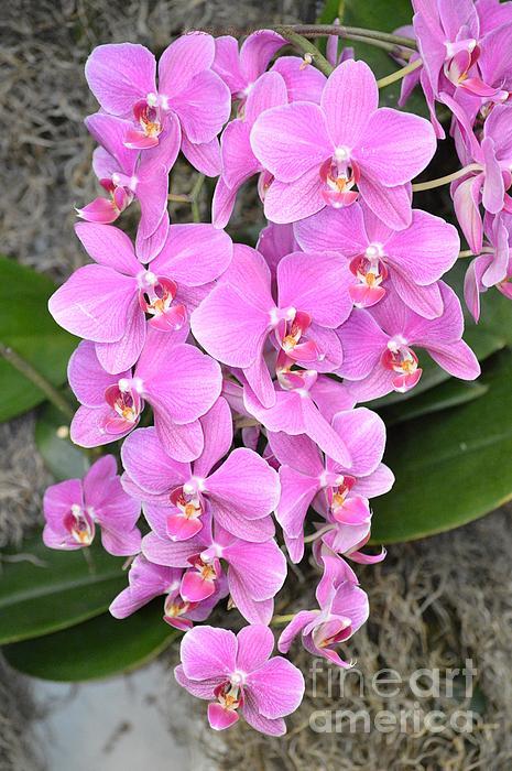 Sonali Gangane - Resplendent Orchid