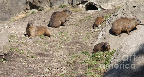 John Telfer - Rock Hyrax at Bronx Zoo