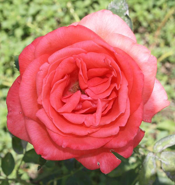 John Telfer - Rose at Clark Gardens