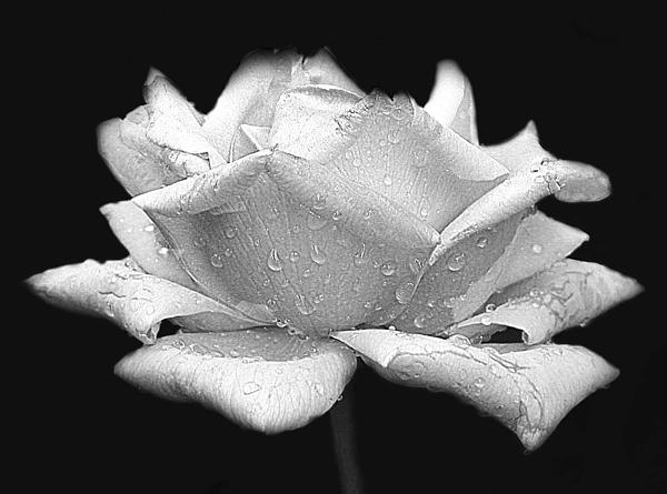 Susan Buscho - Rose in Black and White