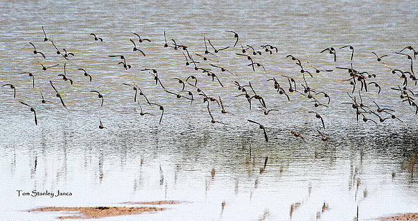 Tom Janca - Sand Pipers in Flight