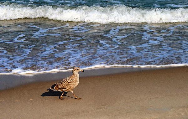 Maggie Vlazny - Sandpiper Closeup Oceans Edge