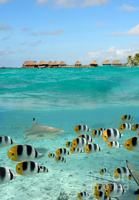 Over under with shark and butterfly fish at bora bora for Bora bora fish