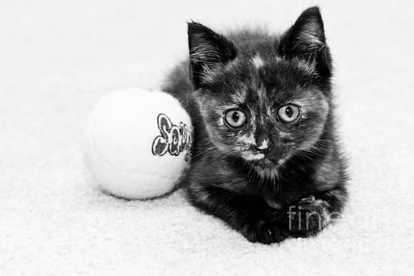 Lawrence Burry - Short Hair Kitten