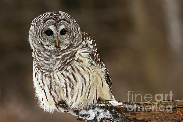 Inspired Nature Photography Fine Art Photography - Sitting Pretty Barred Owl
