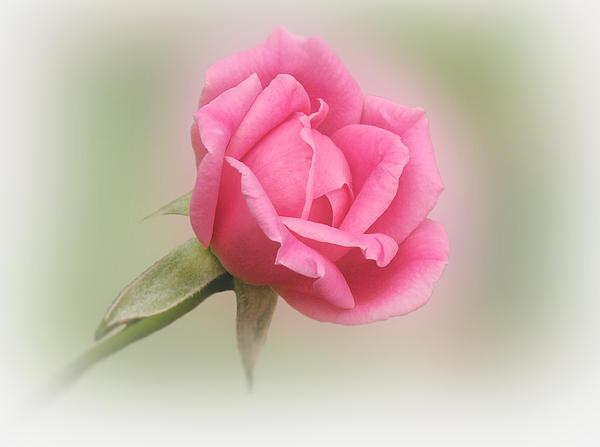 Sandy Keeton - Softly Pink