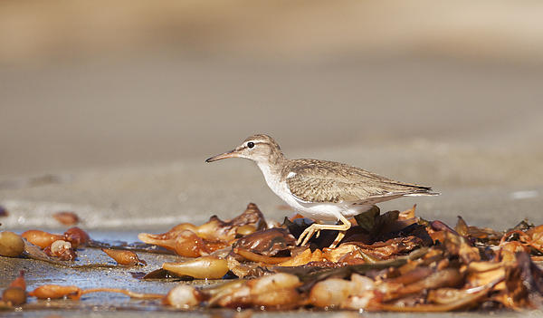 Ruth Jolly - Spotted Sandpiper at the Beach