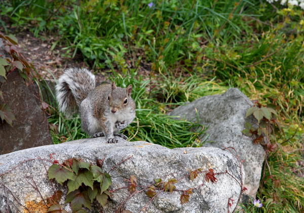 Christiane Schulze Art And Photography - New York City Squirrel On A Rock
