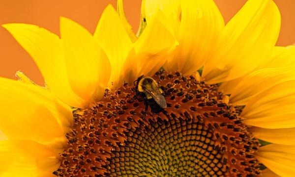 Kay Novy - Sunflower And Bee