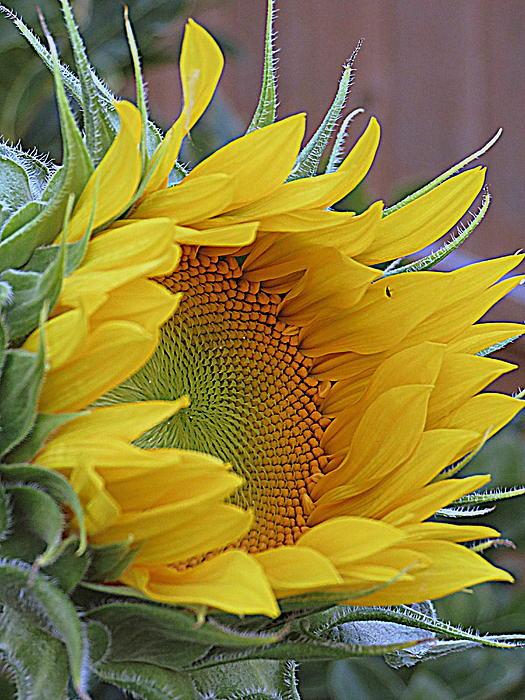 Kay Novy - Sunflower Awakening