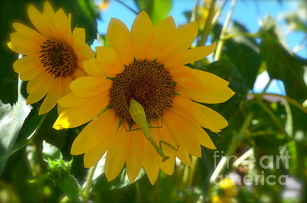 Luther Fine Art - Sunflower With Upside Down Visitor