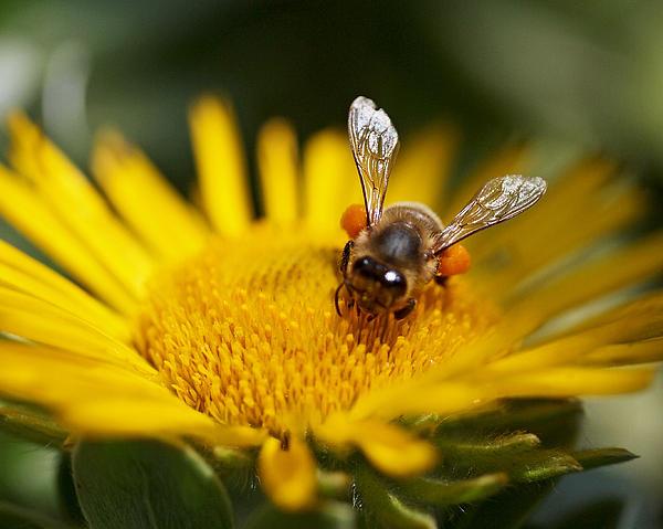Rona Black - The Pollinator