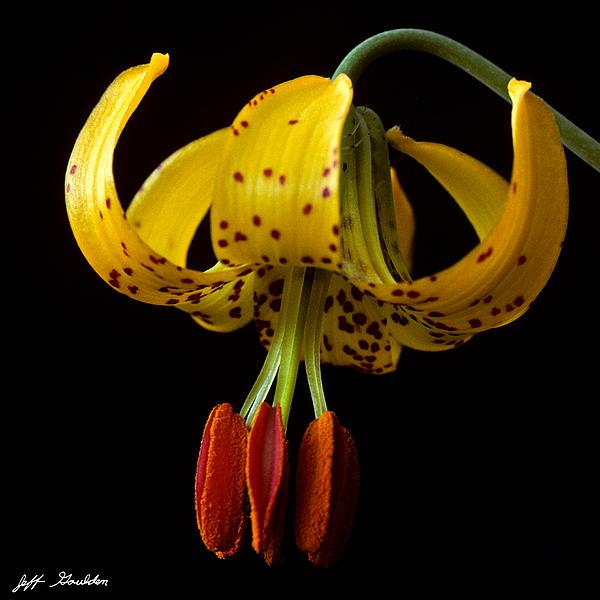 Jeff Goulden - Tiger Lily