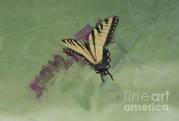 Luther Fine Art - Tiger Swallow Tail Butterfly And Friend