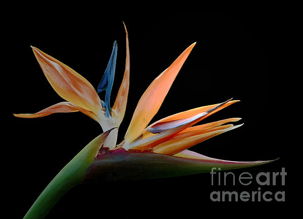 Inspired Nature Photography Fine Art Photography - Tropical Exotica- Bird of Paradise Flower