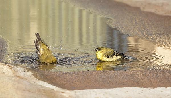 Linda Brody - Warblers Bathing