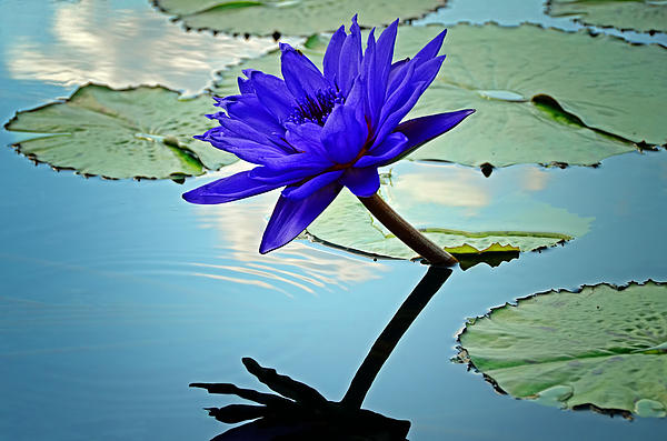 Steven  Michael - Water Lily